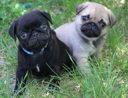 Black And Grey Pug Puppies Availabe 333