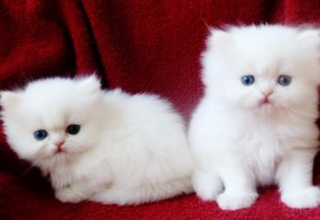 Purebred tiny teacup Persian kittens.