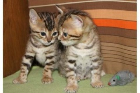 Bengal Kittens for sale/../