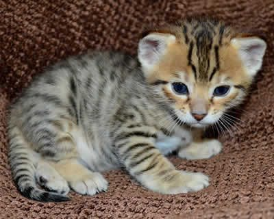 صور We have beautiful Savannah kittens available for sale 1