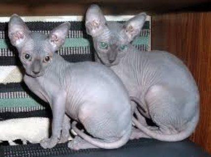 REGISTERED SPHYNX KITTENS READY FOR THEIR NEW HOMES,..