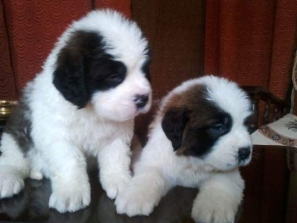 Adorable male and female saint bernard puppies for rehoming