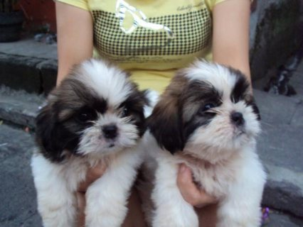 Very Tiny Teacup shih tzu Puppies Now Available