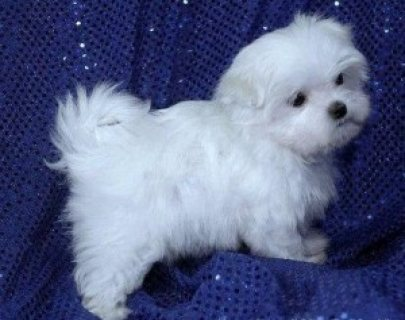 Lovely male and female Teacup Maltese Pups For sale,.,.Please co