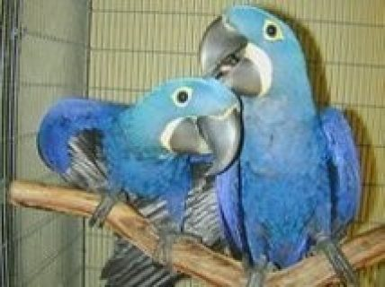 Hyacinth male and female Macaw Parrots for Sale