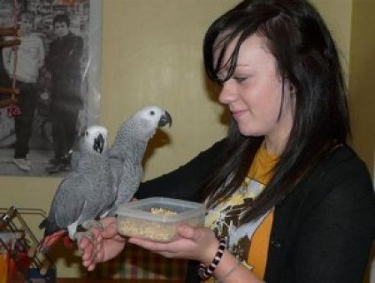 صور Talking African Gray Parrots for sale 1