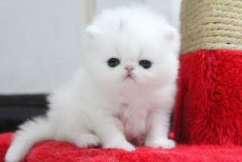 Persian Brother and Sister Available here