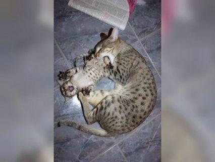 Beautyfull Home Raised Savannah Kittens For Rehoming