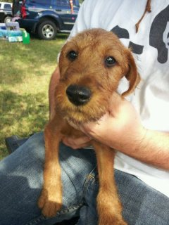 Irish terrier dogs and puppies available.