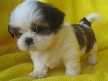 ******Adorable Cute Family Male and Female Shih Tzu Puppies avai