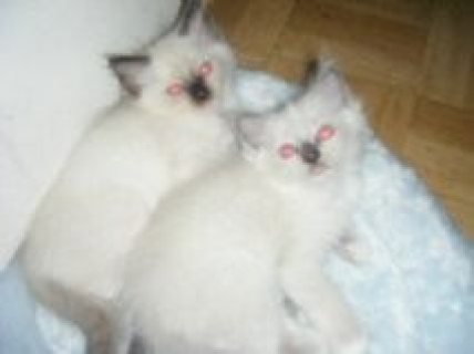 صور LOVELY PEDIGREE RAGDOLL KITTENS FOR ADOPTION 1