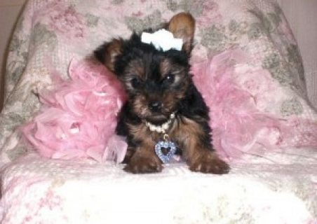 Tea Cup Yorkie Puppies For Adoption is now ready!!!