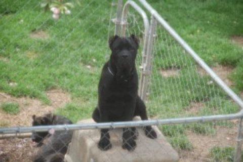 cane corso puppies available