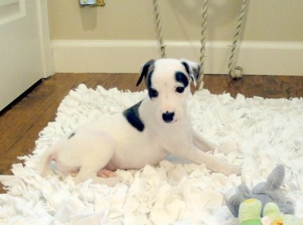 Whippet Puppies for adoption