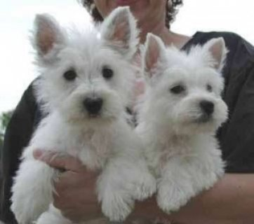 West Highland Terrier Puppies available for Xmass