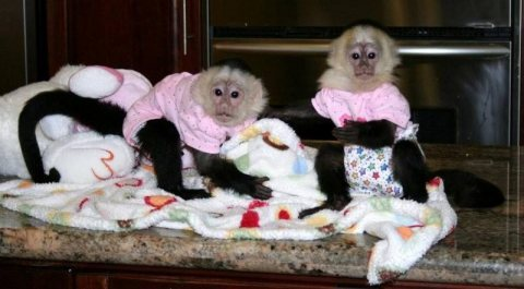 Amazing baby capuchin monkeys Up For Sale