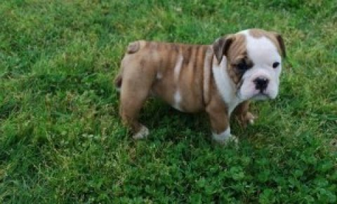 Two Wonderful English Bulldog Puppies for Adoption