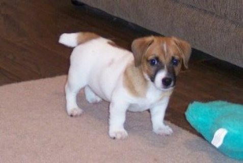 registered Jack Russell Puppies for sale..
