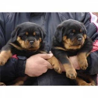 Beautiful black Rottweilers pups for sale