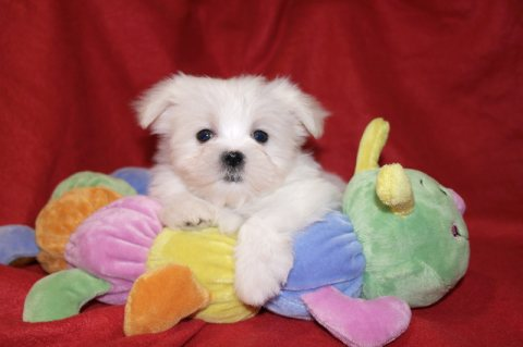 male Maltese puppies looking for a new home