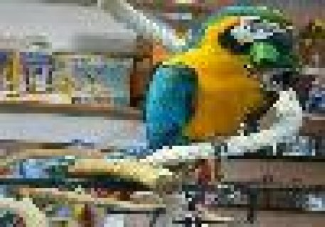 Maw Parrots for Sale