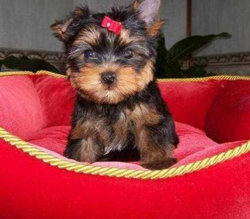 Registered Yorkie puppies for adoption.