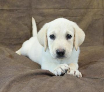صور Labrador Retriever puppies ready for adoption 1