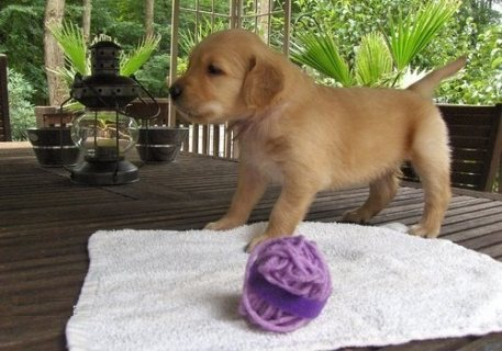 Golden Retriever puppies ready for adoption