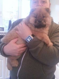 Beautiful Chow Chow Boy And Basset Hound adoption