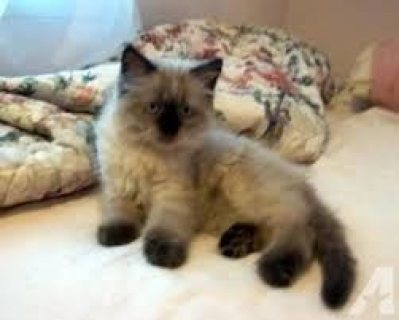 2 Sealpoint Ragdolls  Left....... 9 Weeks Old