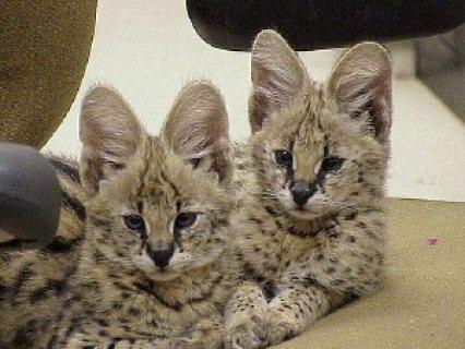 Super Cute F1 Savannah and Serval Kittens.