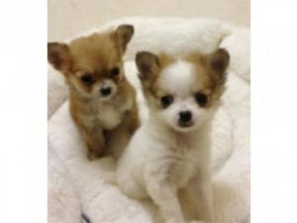 3 lovely chihuahua puppies