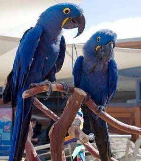 Congenial Hyacinth Macaw Parrots....