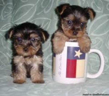 Playful Yorkie Puppies for sale