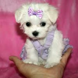 Beautifull Maltese Ready for a new family