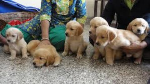 Cute Males and Females Golden Retriever Pups for sale..