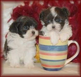 We have T-cup shih tzu Puppies Ready For sale