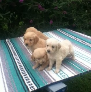 Lovely Male and Female Golden Retriever puppies .Please contact