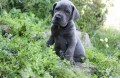 GREAT DANE PUPPIES FOR GOOD HOME1