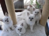 Three Birman Kitten Available For Sale