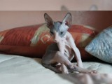 Adorable Hairless Sphynx available For Sale