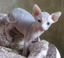 Male and Female Sphynx Kittens.
