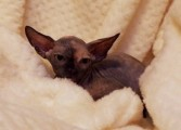 Sphynx kitten black tortie female