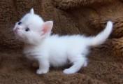 outstanding Munchkin kittens for re-homing