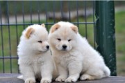 HEALTHY CHOW CHOW PUPPIES FOR loving homes