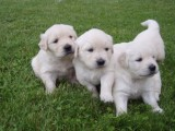 Male and Female Golden Retriever Puppies Available For Adoption