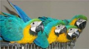 cute macaw parrots for sale.