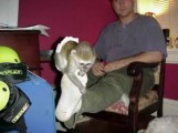 We have an adorable baby Capuchin monkey to give out for adopti