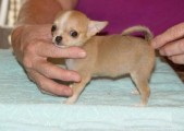 Male and Female Chihuahua puppies for new home