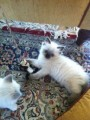 Adorable Ragdoll Kittens 11 Weeks Old For Adoption